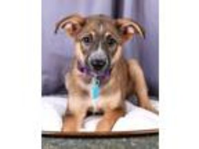 German Shepherd Dogs For Sale Or Adoption Classifieds In Arvada