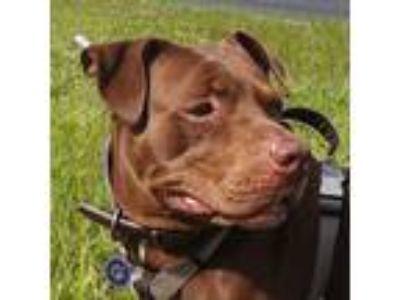 Adopt Arya a Brown/Chocolate Labrador Retriever / American Pit Bull Terrier /
