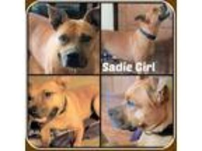Adopt SADIE GIRL a Tan/Yellow/Fawn - with White Boxer / Mixed dog in Malvern
