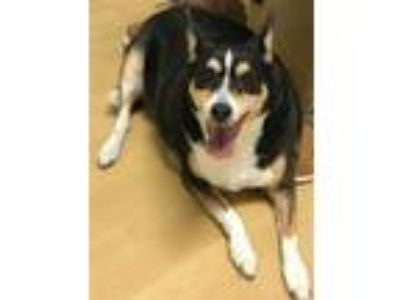 Adopt LUNA a Black - with Brown, Red, Golden, Orange or Chestnut Rat Terrier /