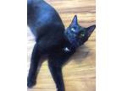 Adopt Salvatore18 a Domestic Mediumhair / Mixed (short coat) cat in Youngsville