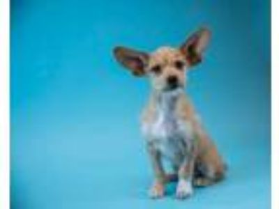 Adopt Norman a Tan/Yellow/Fawn Terrier (Unknown Type, Small) / Mixed dog in Palm