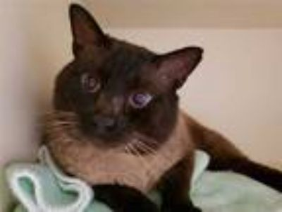 Adopt CHOCOLATE a Brown or Chocolate (Mostly) Siamese / Mixed (short coat) cat
