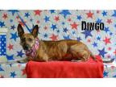Adopt Dingo a Whippet, Terrier
