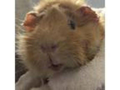 Adopt Blake a Guinea Pig small animal in South Haven, MI (25842657)
