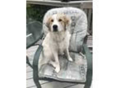 Adopt Gracie a White - with Tan, Yellow or Fawn Golden Retriever / Great