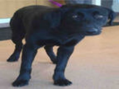 Adopt CHIEF a Black Labrador Retriever / Mixed dog in Ogden, UT (25558062)