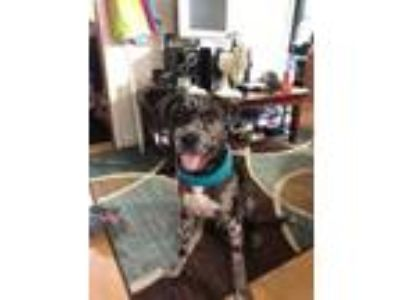 Adopt Brutus a Catahoula Leopard Dog, Pit Bull Terrier