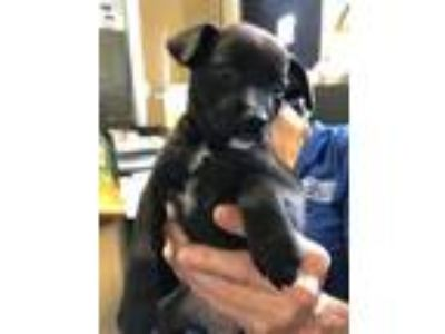Adopt Chloe a Black Jack Russell Terrier / Mixed dog in Cumming, GA (25461077)