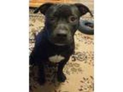 Adopt Grizzly Bear a Pit Bull Terrier, Black Labrador Retriever