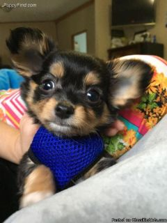 Beauteous Chihuahua puppies