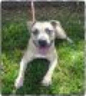 SMOKEY Pit Bull Terrier Dog