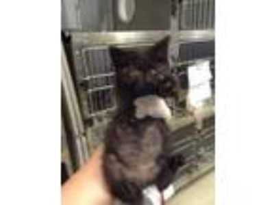 Adopt Burberry a All Black Domestic Shorthair / Domestic Shorthair / Mixed cat