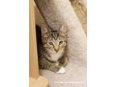 Adopt Honey a Brown Tabby Bengal (short coat) cat in Island Park, NY (11779069)