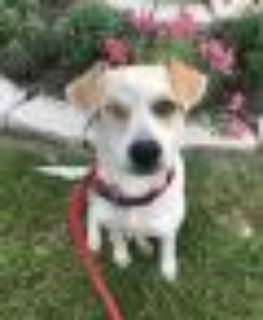 Wonder Beagle - Mixed Breed Dog