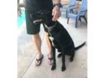 Adopt Cougar a Black Labrador Retriever / Great Dane dog in Lakeside