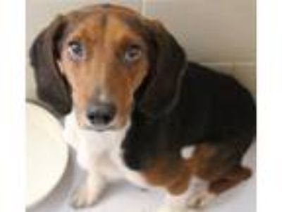 Adopt Willie a Tricolor (Tan/Brown & Black & White) Beagle / Mixed dog in Hilton