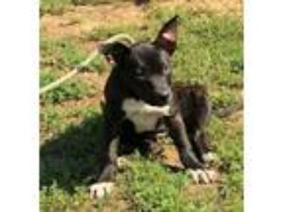 Adopt Cherry a Black - with White Labrador Retriever / Mixed dog in Newberry
