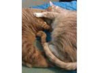 Adopt Kai & Ginger a Orange or Red Domestic Shorthair / Mixed cat in Knoxville