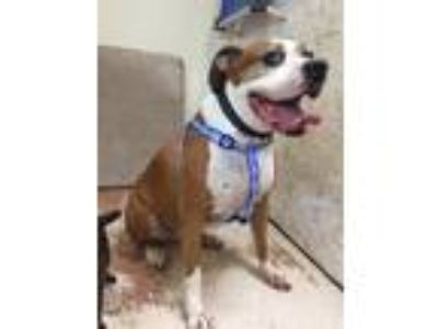 Adopt Gage a Tan/Yellow/Fawn - with White Boxer / Mixed dog in Weatherford
