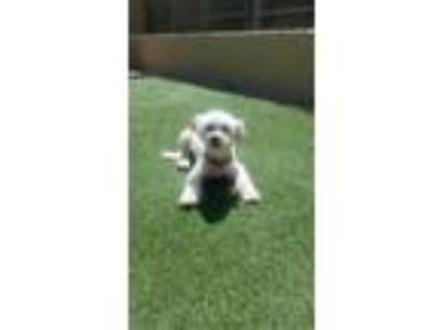 Adopt Abbie a White Terrier (Unknown Type, Small) / Mixed dog in Newport Beach