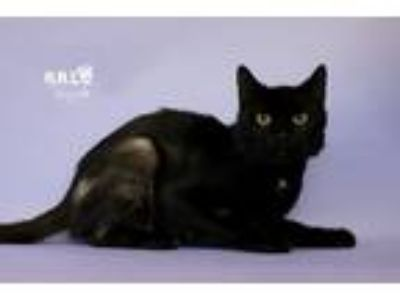 Adopt Panther a Domestic Shorthair / Mixed (short coat) cat in Sebastian