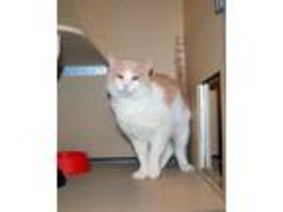 Adopt Lincoln 5848 a Orange or Red (Mostly) Domestic Mediumhair / Mixed (medium