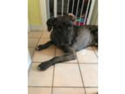 Adopt Chase a Catahoula Leopard Dog