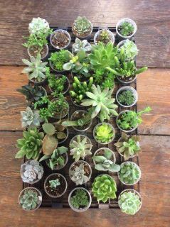 LOOKING FOR baby succulents