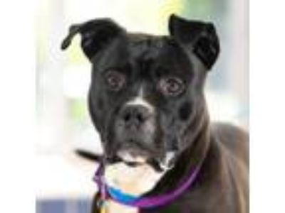 Adopt Jasper Junior a Pit Bull Terrier, Mixed Breed
