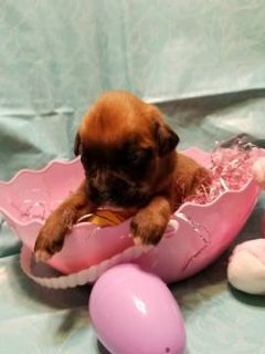 Boxer PUPPY FOR SALE ADN-72559 - Your Boxer Baby is HERE