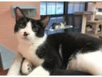 Adopt Hudson a Domestic Short Hair