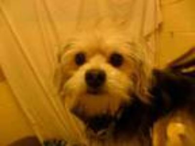 Adopt NEO a Yorkshire Terrier, Pug
