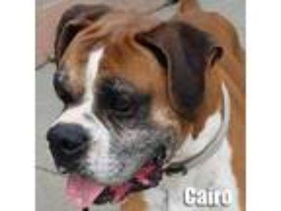Adopt Cairo a Boxer