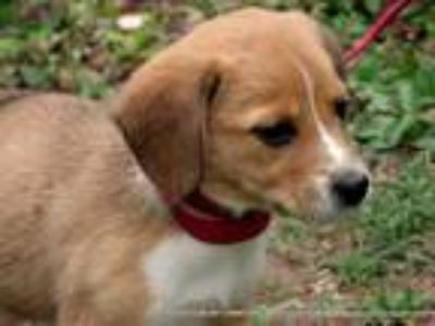Adopt EEVIE~ADOPTED a Tricolor (Tan/Brown & Black & White) Beagle / Mixed dog in