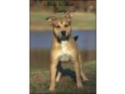 Adopt Gatsby a German Shepherd Dog