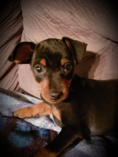 Miniature Pinscher PUPPY FOR SALE ADN-99332 - PAPI  AKC