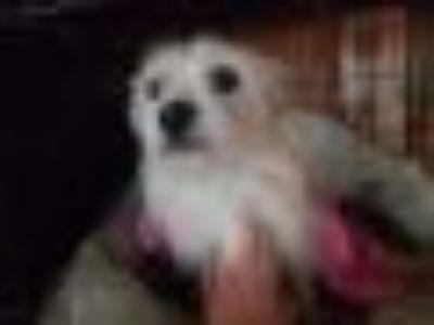 Sugar West Highland White Terrier Westie - Wirehaired Terrier Dog