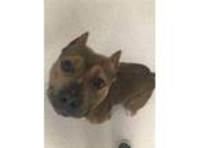 Adopt Hercules (MFRP19004) a Brown/Chocolate Pit Bull Terrier / Mixed dog in El
