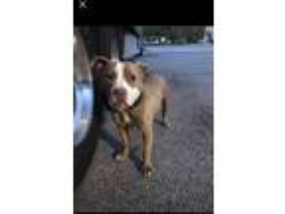 Adopt Bow Wow a Tan/Yellow/Fawn - with White American Pit Bull Terrier dog in