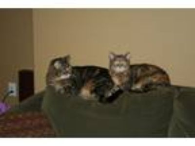 Adopt Pumpkin & Tilly (2 sisters) a Tiger Striped Calico / Mixed cat in Spokane