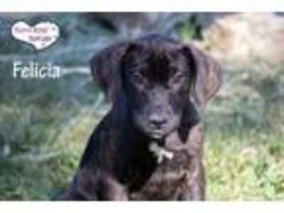 Adopt Felicia a Brown/Chocolate Setter (Unknown Type) / Great Dane / Mixed dog