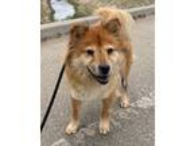 Adopt Osa a Red/Golden/Orange/Chestnut Chow Chow / Mixed dog in Ventura