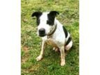 Adopt RAPHAEL a White - with Black American Staffordshire Terrier / Dalmatian /