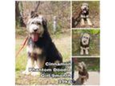 Adopt Cinnamon from Korea a Black - with White Bearded Collie / Mixed dog in