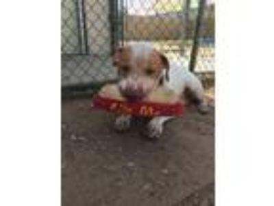 Adopt BANJO a Basset Hound, Pit Bull Terrier