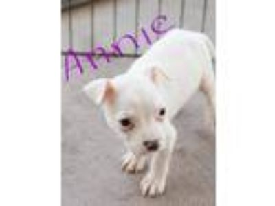 Adopt Annie a White Pit Bull Terrier / Mixed dog in Pompton Lakes, NJ (25546096)