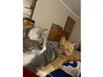 Adopt Shimmy & Tigger a Gray or Blue American Shorthair / Mixed cat in Winston