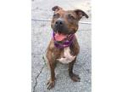 Adopt Geronimo a Brindle - with White Pit Bull Terrier / Mixed dog in Carmel