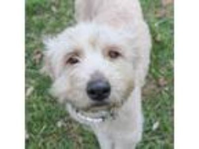 Adopt Willy a Wheaten Terrier